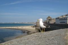 Notre ami le cormoran de Saint-Malo