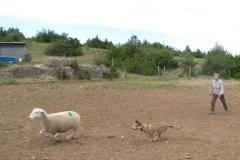 Premier cours de chien au troupeau