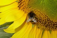 Bourdon sur une fleur de tournesol