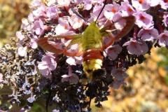 Sphinx gazé butinant des fleurs de Buddleia