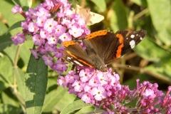 Papillon butinant des fleurs de Buddleia