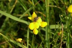 Mouche sur fleur de cytise