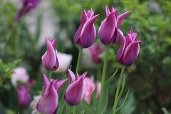 Tulipes Fleur de Lis Ballade