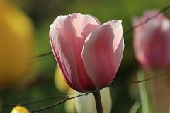 Tulipe Sweet impression