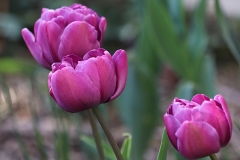 Tulipe double Blue Diamond