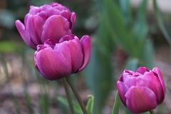 Tulipe double Blue Diamond