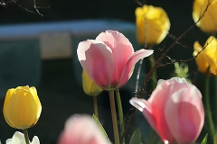 Tulipes Sweet Impression et Golden Apeldoorn