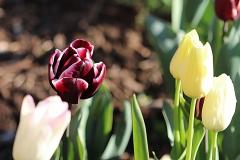 Tulipes Maureen et Fontainebleau