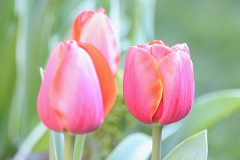 Tulipes World's Favourite