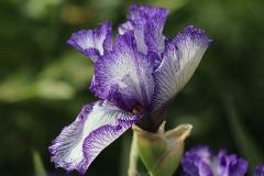 Iris Art Déco