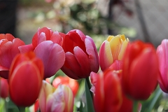 Tulipes Kingsblood et Wold's Favourite