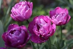 Tulipes double Backpacker