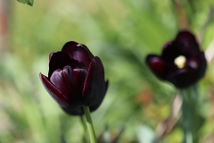 Tulipes Queen of the Night
