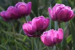 Tulipes double Backpacker