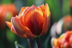Tulipes doubles Orange Princess