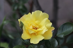 """Rose """"Pierre"""""""