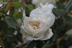 Rose Mme Alfred Carrière