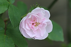 Rose Narrow Water