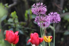 Aulx d'ornement Aflatunense Purple Sensation, tulipes Renagade