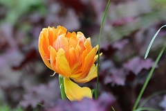 Tulipe Orange Princess