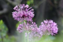 Aulx d'ornement Aflatunense Purple Sensation