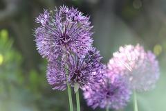 Ail d'ornement Aflatunense Purple Sensation