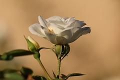 Roses Annapurna