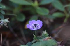 Geranium Vivace Azur Rush