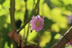 Anémone du Japon Pamina